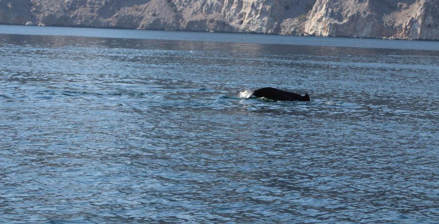 Delphinflosse Khasab